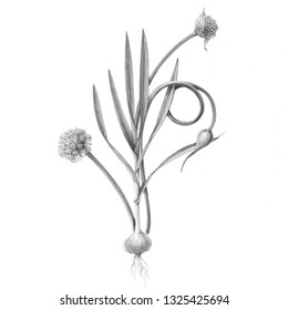 Garlic Plant with Bulb, Leaves, Scape and Flower Pencil Illustration Isolated on White
