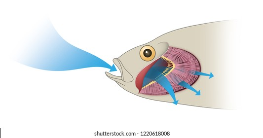 Gas exchange in fish. Respiration