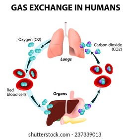 Gas exchange in humans. Path of Red Blood Cells. Oxygen transport cycle. Both oxygen and carbon dioxide are transported around the body in the blood from the lungs to the organs and again to the lungs