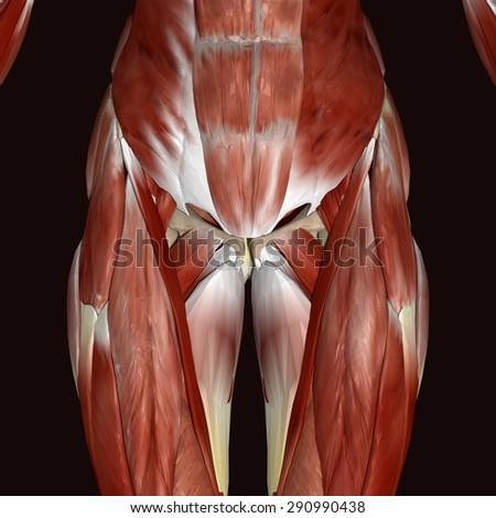 Gastrocnemius Muscle Stock Illustration 290990438 - Shutterstock