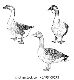 Geese graphic illustration isolation. Farm bird set.