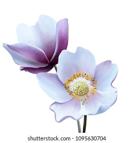 Gentle anemones on white background close up