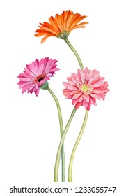 Gerbera flovers watercolor hand draw illustration isolated on white background.