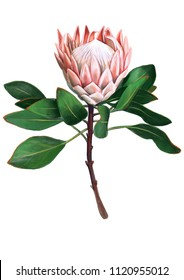 Giant Australian native flower Protea