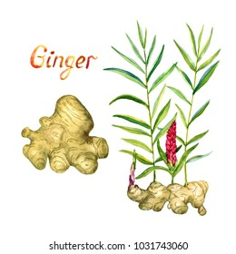 Ginger growing plant with red flower and root with inscription, hand painted watercolor illustration isolated on white background