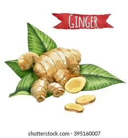 Ginger root with green leaves, watercolor illustration.
