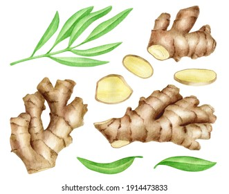 Ginger root with slices and leaves set. Hand drawn watercolor ginger rhizome illustration isolated on white background. Spice ingredient, herb for cosmetic, essential oil, painting for food package