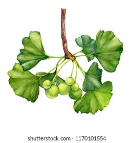 Ginkgo biloba branch (also known as the maidenhair tree, gingko) with leaves and berries - medicinal plant. Watercolor hand drawn painting illustration isolated on a white background.