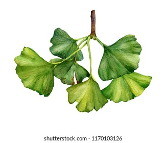 Ginkgo biloba branch (also known as the maidenhair tree, gingko) with leaves - medicinal plant. Watercolor hand drawn painting illustration isolated on a white background.