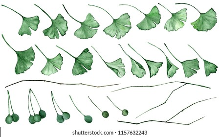 Ginkgo biloba also known as the ginko or gingko leaves, seeds and branches isolated watercolor illustration. Ginkgo plant herbal alternative medical care anti-oxidant leaves. Green medical herbs.