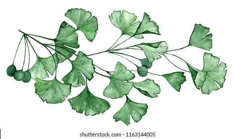 Ginkgo biloba known as the ginko or gingko leaves and seeds on branch isolated watercolor illustration. Ginkgo plant herbal alternative medical care anti-oxidant leaves. Green medical herbs branch