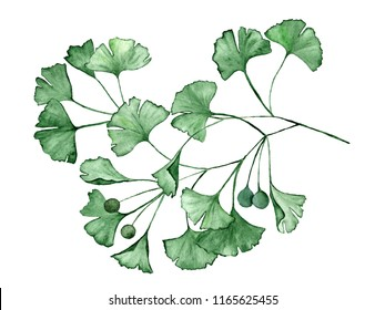 Ginkgo biloba known as the ginko or gingko leaves and seeds on branch isolated watercolor illustration. Ginkgo plant leaves. Green medical herbs branch