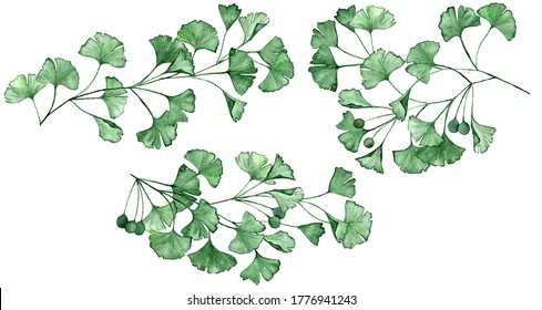 Ginkgo biloba known as the ginko or gingko leaves and seeds on branches isolated watercolor illustration. Ginkgo plant herbal alternative medical care anti-oxidant leaves. Green medical herbs branches