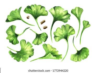 Feuilles de Ginkgo biloba, plante cosmétique et médicinale. Illustration à l'aquarelle dessinée à la main isolée sur fond blanc