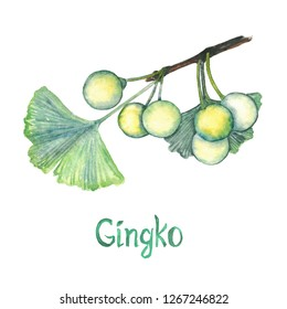 Ginkgo (Ginkgo biloba or maidenhair tree) leaf and seed, hand painted watercolor illustration isolated on white