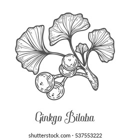 Ginkgo Biloba plant, leaf, branch, berry. Hand drawn engraved sketch etch illustration. Ingredient for hair and body care cream, lotion, treatment, moisture. Ginkgo Black on white background