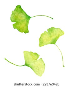 Ginkgo leaves. Watercolor