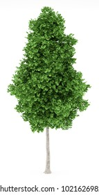 ginkgo tree isolated on white background. 3d illustration