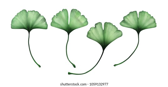 Ginko leaves isolated on white background. Watercolor hand drawn illustration.