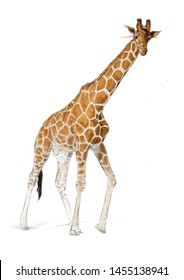 GIRAFFE COLOUR PENCIL DRAWING ON WHITE BACKGROUND