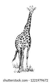 Giraffe hand drawn illustrations (originals, no tracing)