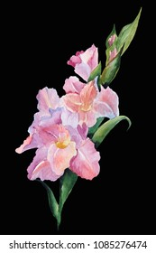 Gladiolus flowers, Watercolor painting solated