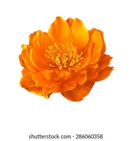 A Globe-flower orange flower isolated on white background