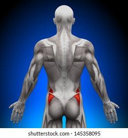 Glutes Medius - Anatomy Muscles