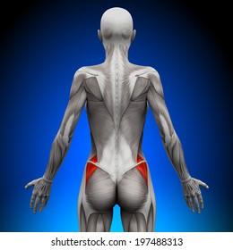Glutes Medius - Female Anatomy Muscles