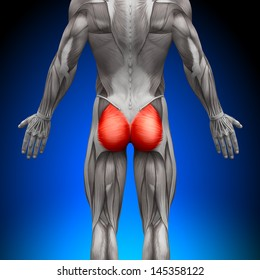Gluteus Maximus - Anatomy Muscles