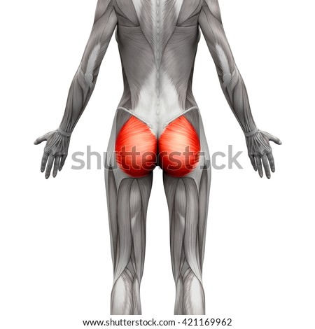 Royalty Free Stock Illustration Of Gluteus Maximus Anatomy Muscles