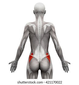 Gluteus Medius - Anatomy Muscles isolated on white - 3D illustration
