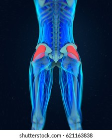 Gluteus Medius. Female muscle anatomy. 3d illustration
