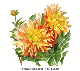 Gold and Orange Dahlias. Watercolor painting, illustration, of gold and orange dahlias with a white background, hand painted.