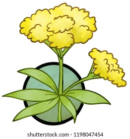Golden Alexander. A color illustration of the pollinator-friendly plant named Golden Alexander.