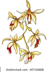 Golden coelogyne tomentosa orchid flower blossom. Hand drawn watercolor tropical exotic flowers on white background. Botanical wedding illustration for print, card, invitation, design. Japanese style.