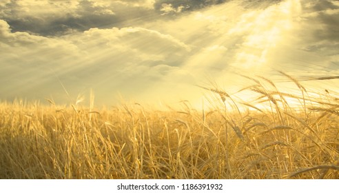 Golden Field of Wheat and Sky. Sunset or sunrise. 3D rendering
