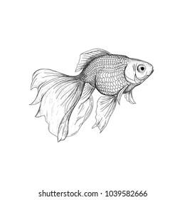 Goldfish illustration, drawing, engraving, ink, line art. Fish sketch hand drawing. Goldfish