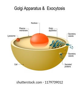 Golgi apparatus and exocytosis. Cell transports molecules out of the cell. vesicles are carried to the cell membrane, fuses with membrane, contents are secreted into the extracellular environment.