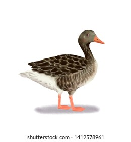 Goose duck realistic animal illustration