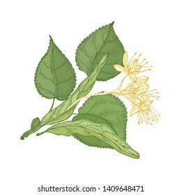 Gorgeous botanical drawing of linden sprig with leaves and tender blooming flowers. Gorgeous plant hand drawn on white background. Decorative design element. Natural realistic illustration.
