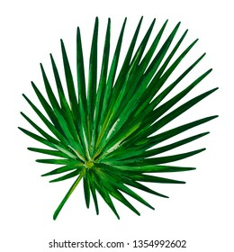 Gouache green leaf of cabbage palm.