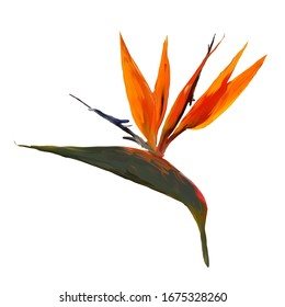 Gouache painted Bird of Paradise. Watercolor illustration with realistic branch of strelitzia. Bird of paradise flower painted on white. Botanical illustration.
