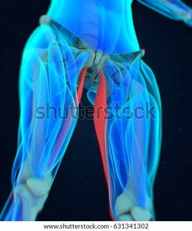 Royalty Free Stock Illustration of Gracilis Muscle Female Muscle ...