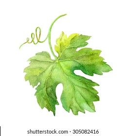 Grape leaf of vine with swirl. Watercolor