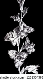 Graphic art. Branch with flowers of gladioli. Artwork. Style of japanese gravure. Linear black and white picture on the black isolated background.