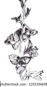 Graphic art. Branch with flowers of gladioli. Artwork. Style of japanese gravure. Linear black and white picture on the white isolated background.