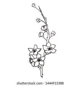 graphic black white spring of sakura