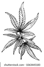 Graphic, a branch of Cannabis sativa marijuana medicinal plant with leaves. Black and white outline illustration, hand drawn work. Isolated on white background.