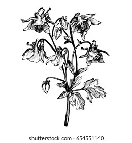 Graphic the branch flower Aquilegia (names: granny's bonnet or columbine). Coloring book page doodle for adult and children. Black and white outline illustration. Decorative ornamental for printing.
